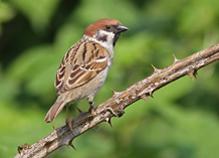 Tree Sparrow (2)
